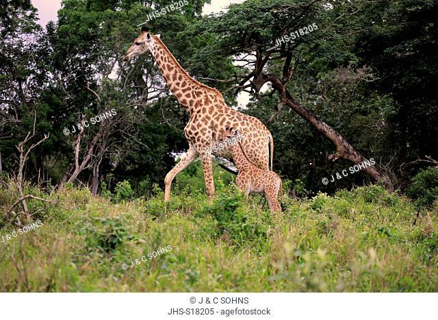 Cape Giraffe, (Giraffa camelopardalis giraffa), mother with young walking, Saint Lucia Estuary, Isimangaliso Wetland Park, Kwazulu Natal, South Africa, Africa