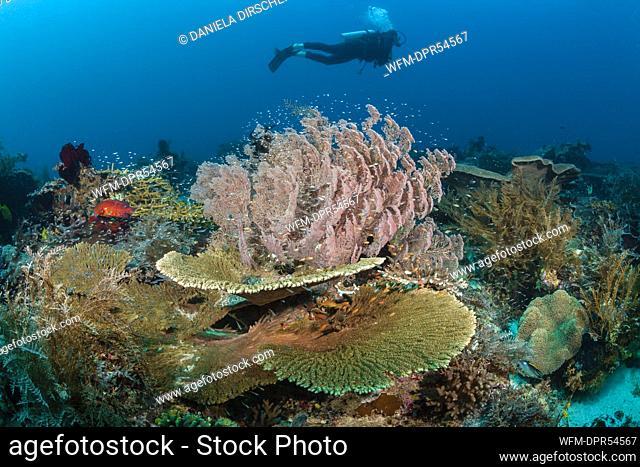 Scuba Diver over Coral Reef, Raja Ampat, West Papua, Indonesia