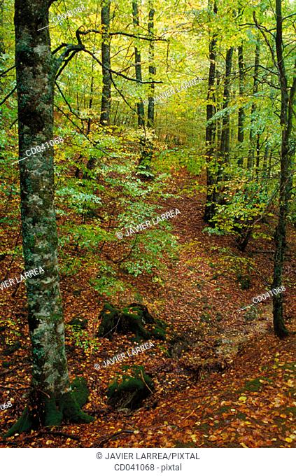 Irati forest. Navarre. Spain