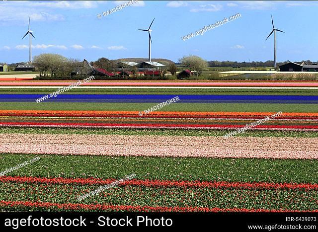 Blooming tulip field near Alkmaar, Holland, North Holland, Netherlands