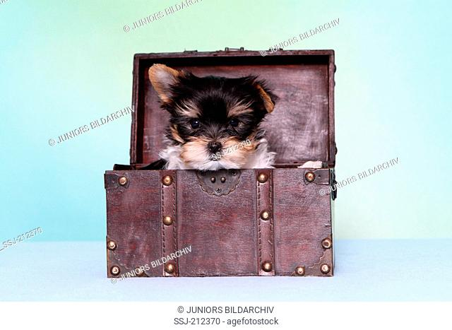 Biewer Terrier. Puppy (7 weeks old) in a small chest. Studio picture against a blue background. Germany