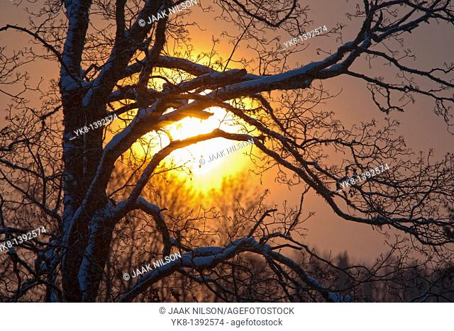 Tree Branches Silhouette against Sun