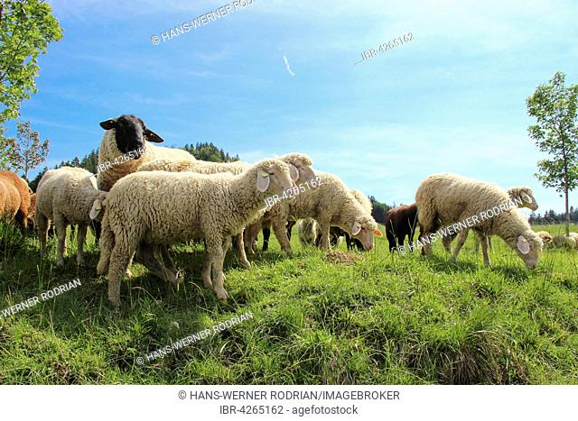 Flock of domestic sheep (Ovis sp.) in meadow, Sennalp, Bad Hindelang, Bavaria, Germany