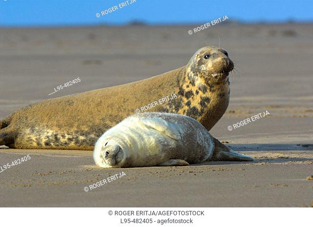 Female Grey Seal (Halichoerus grypus) with pup on beach, Donna Nook National Nature Reserve, England. UK