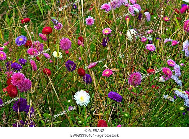 Chinese aster, China Aster (Callistephus chinensis), in a flowerbed