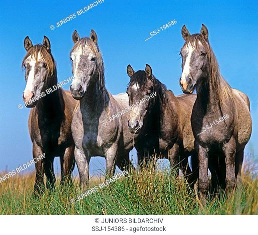 four Lusitano horses - standing