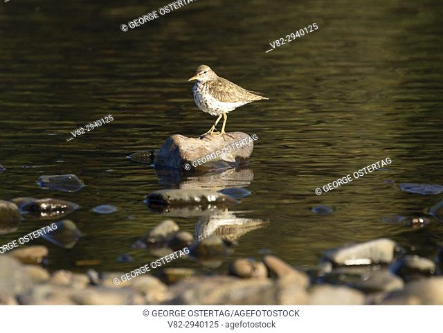 Spotted sandpiper, Willamette Mission State Park, Oregon