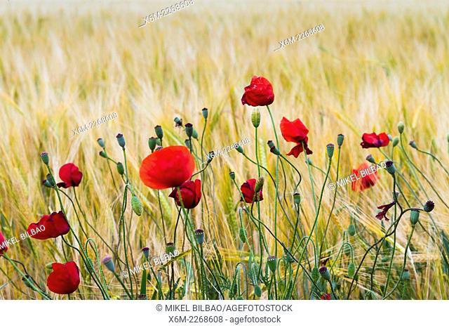 Poppies (Papaver rhoeas) in a wheat field. Peñafiel village. Ribera de Duero region. Valladolid. Castile and Leon. Spain, Europe