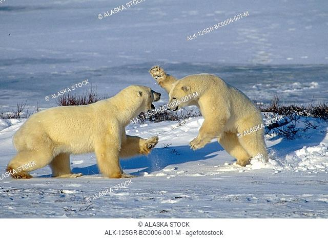 Polar Bears Play Fighting Churchill Manitoba Canada Winter Group10