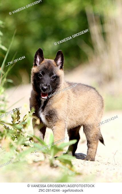 Dog Belgian shepherd Malinois puppy on the sand