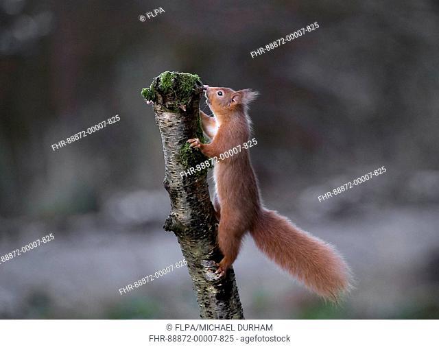 Red squirrel (Sciurus vulgaris) climbing a tree stump, January Dumfries, Scotland
