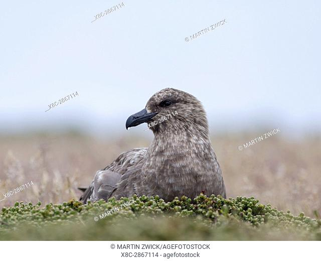 Falkland Skua or Brown Skua (Stercorarius antarcticus, exact taxonomy is under dispute) are the great skuas of the southern polar and subpolar region