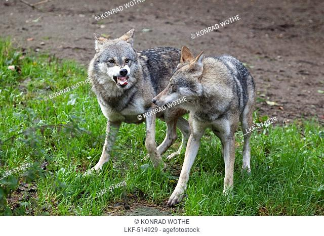 Wolves, Canis lupus, Europe, captive
