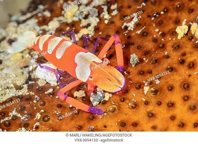 Emporer shrimp, Zenopontonia rex, Anilao, Batangas, Philippines, Pacific