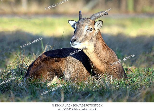 Close Up of Young Mouflon Male Lying in Grass Winter Portrait Ovis Aries Musimon Czech Republic