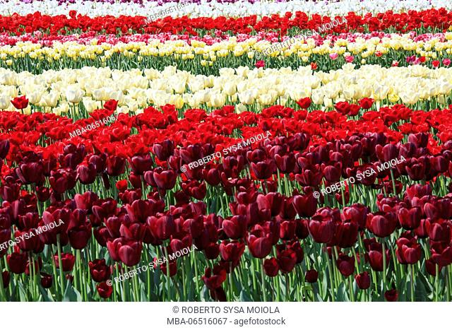 Colorful tulips fields in spring Berkmeer Koggenland North Holland Netherlands Europe