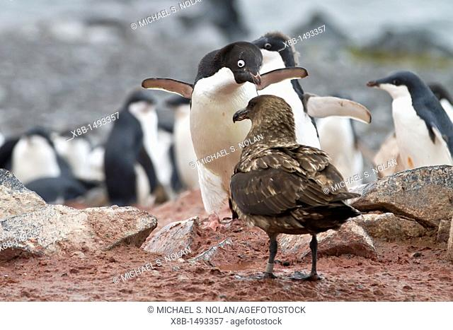 Adélie penguin Pygoscelis adeliae adult defending chick against a skua on Torgersen Island, Antarctica  MORE INFO The Adélie penguin is one of the southernmost...