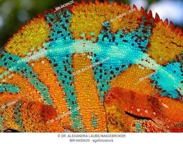 Skin of a panther chameleon (Furcifer Pardalis), male, between Ambilobe and Sirama, Northwestern Madagascar, Madagascar