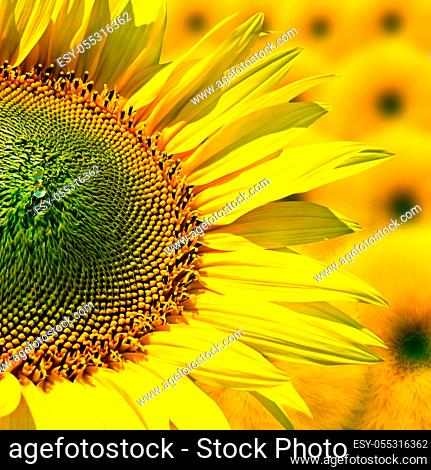 Image field with blooming sunflowers, summer landscape