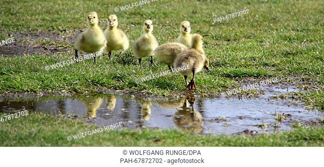 Grey goose chicks walk through a pen near Sankt Peter-Ording, Germany, 27 April 2016. The grey goose usually lays four to six eggs