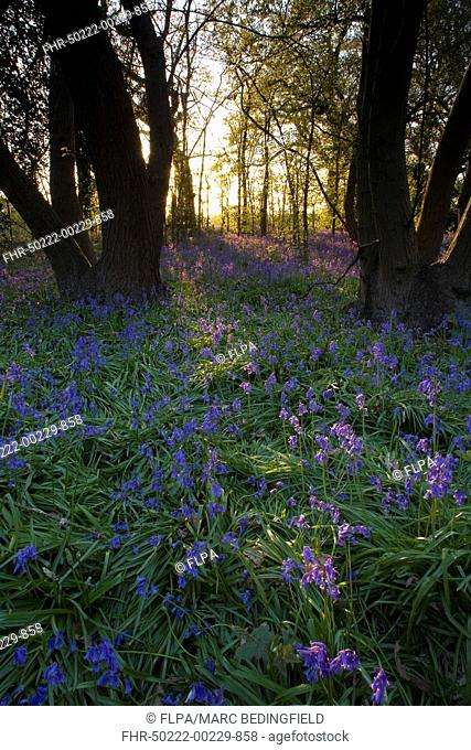 Bluebell Endymion non-scriptus flowering mass, in deciduous woodland habitat, Freston Woods, Suffolk, England, may