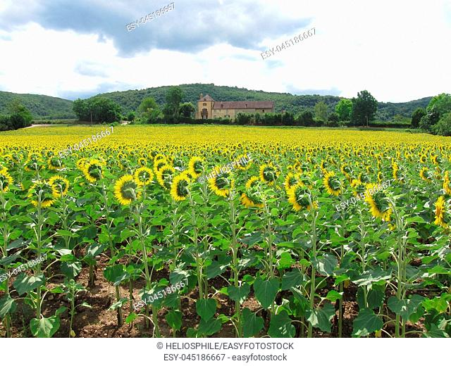 A sun flower field in Dordogne