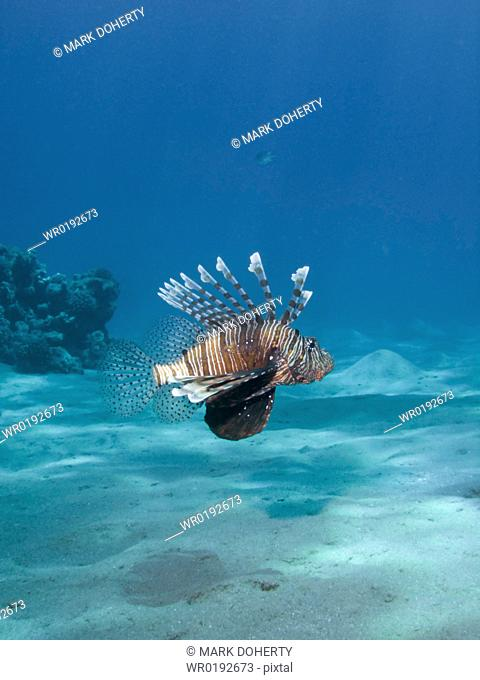 A Common lionfish Pterois miles Na'ama Bay, Sharm El Sheikh, South Sinai, Red Sea, Egypt rr