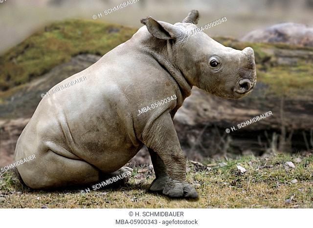 white rhino, young animal, Ceratotherium simum