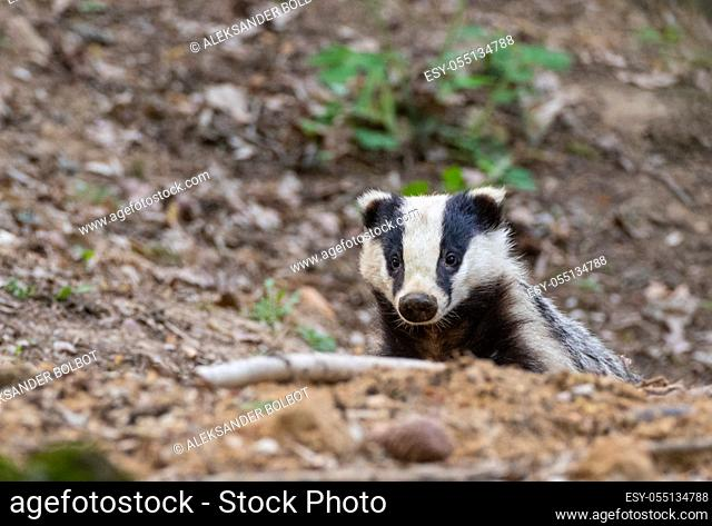 Badger(Meles meles) close-up portrait in spring, Bialowieza forest, Poland, Europe