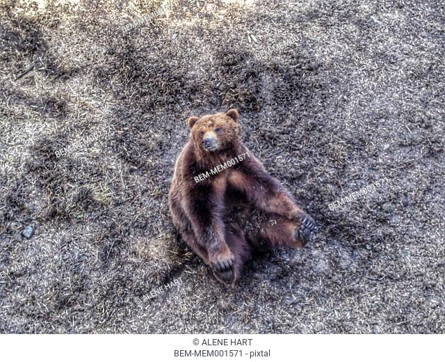 Bear sitting on dirt ground