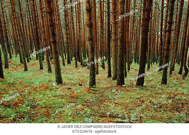 Scots Pines (Pinus sylvestris). Segovia province. Spain