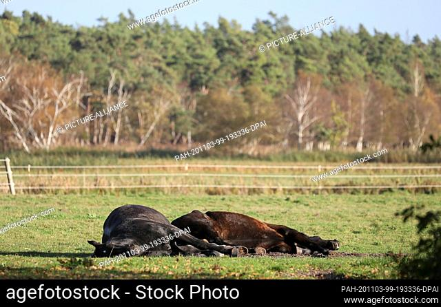 03 November 2020, Mecklenburg-Western Pomerania, Born: Two horses lie in a paddock and enjoy the warming sun. With temperatures of up to 12 degrees Celsius and...
