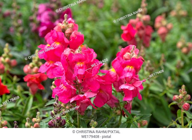 Colourful snap-dragon flowers, Antirrhinum majus in greenhouse. Spring garden series, Mallorca, Spain