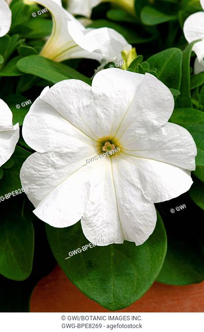 PETUNIA 'DUVET WHITE'