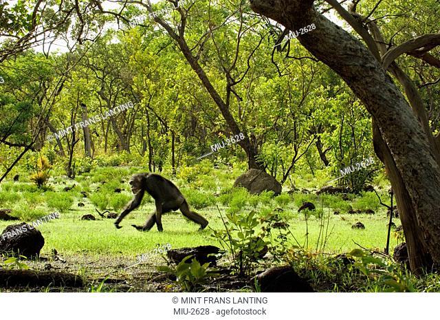 Chimpanzee knuckle walking, Pan troglodytes verus, Fongoli, Senegal