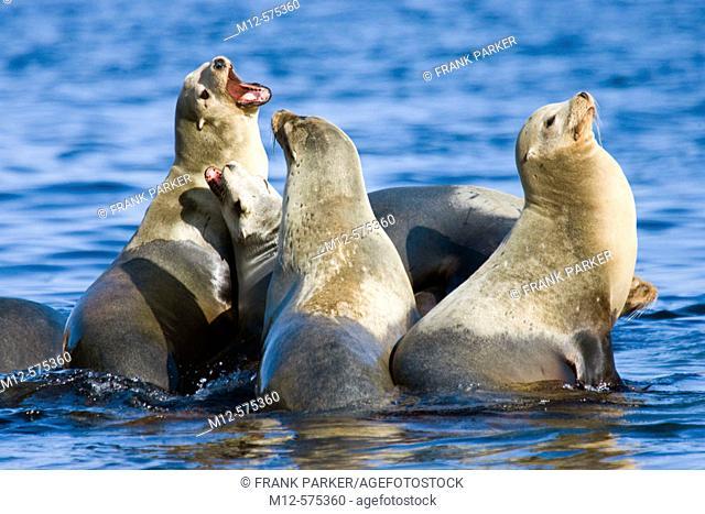 Seal colony on Monterey