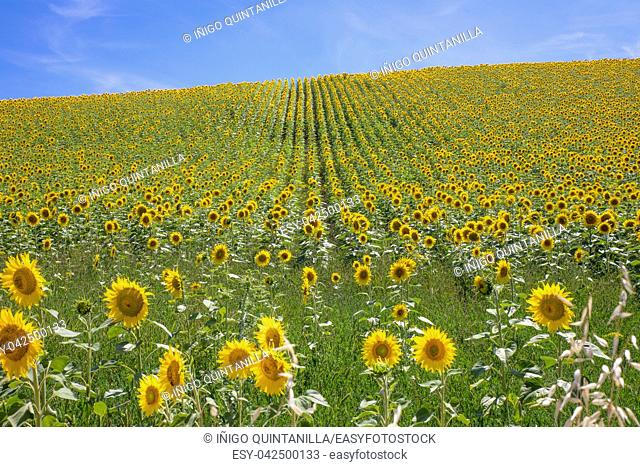 field of sunflowers until the horizon, in Vejer de la Frontera (Cadiz, Andalusia, Spain, Europe)