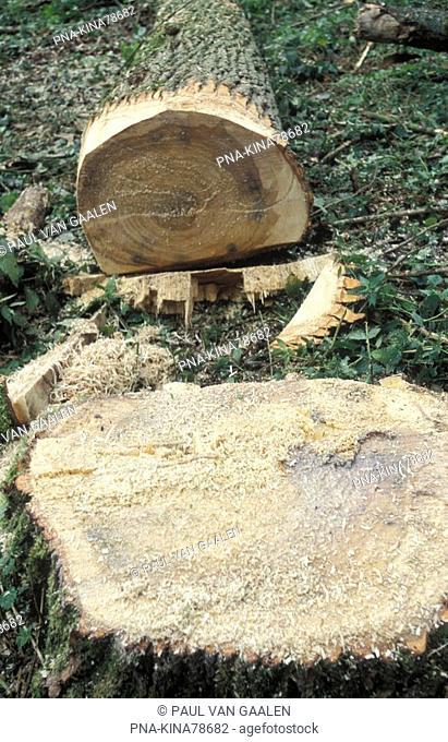 Poplar Populus spec