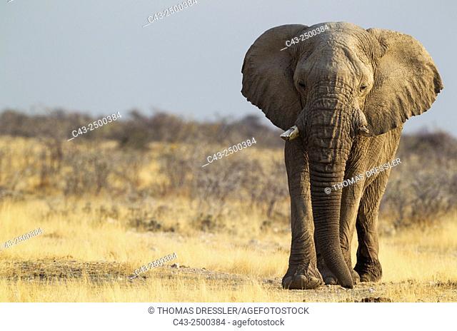 African Elephant (Loxodonta africana) - Old bull on his way to a waterhole. Etosha National Park, Namibia