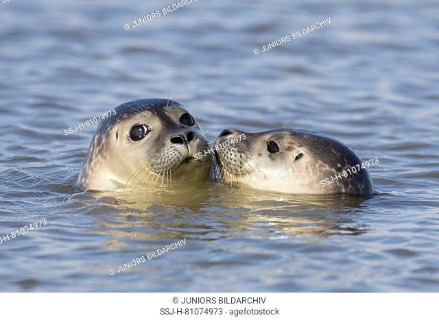 Harbour Seal (Phoca vitulina). Two juveniles swimming in the North Sea, Germany