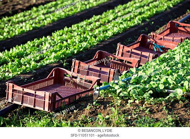Crates in a lettuce field