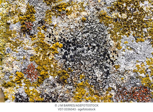 Buellia punctata (black), Candelariella vitellina (yellow) and Caloplaca crenularia (red) are three crustoses lichens. This photo was taken in Arribes del Duero...