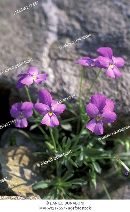 viola valderia flowers, alpi marittime park, italy