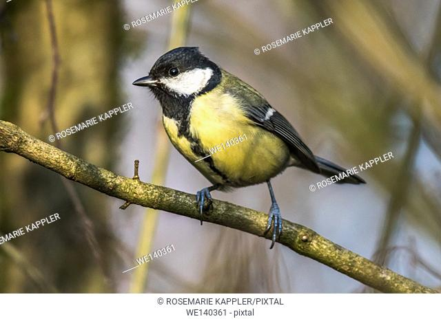 Germany, Saarland, Kirkel, Great tit on a branch