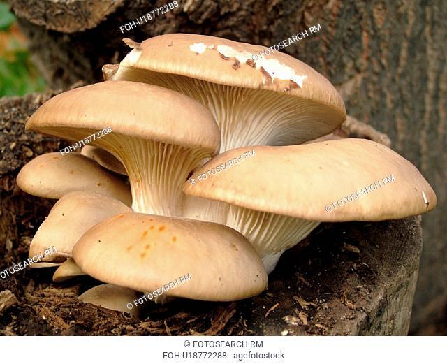 Montpelier, VT, Vermont, Oyster Mushrooms
