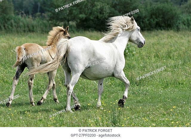 CAMARGUE HORSES INTRODUCED INTO THE MARAIS VERNIER, NORMANDY REGIONAL PARK, EURE 27, NORMANDY, FRANCE