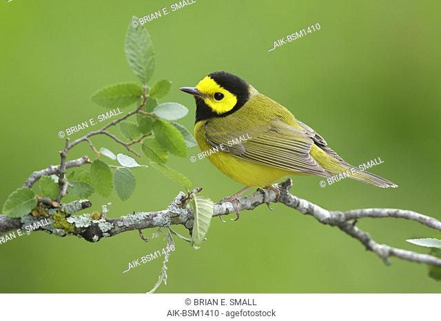 Adult male Hooded Warbler against green background. Galveston Co., Texas
