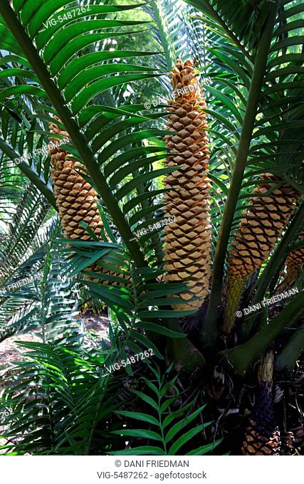 UNITED STATES OF AMERICA, FORT MYERS, 07.08.2013, Cycad (Encephalartos bubalinus) plant with cones growing in the botanical garden at the Thomas Edison and...