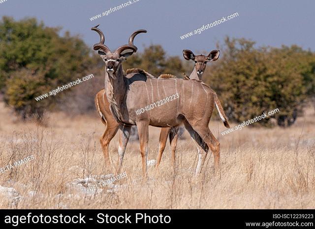 Pair of greater kudus (Tragelaphus strepsiceros), Etosha National Park, Namibia