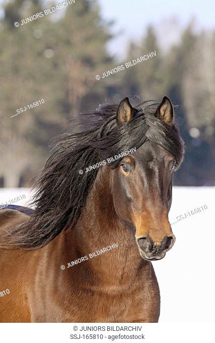 Hucul horse - portrait